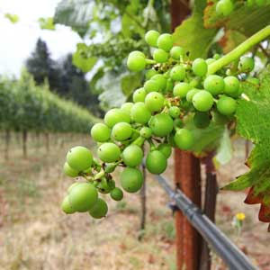 Young white grapes at Beauregard Vineyard in Bonny Doon. Photo by Chip Scheuer.