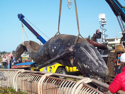 Gray whale carcass is lifted to a tow truck for passage to dump.