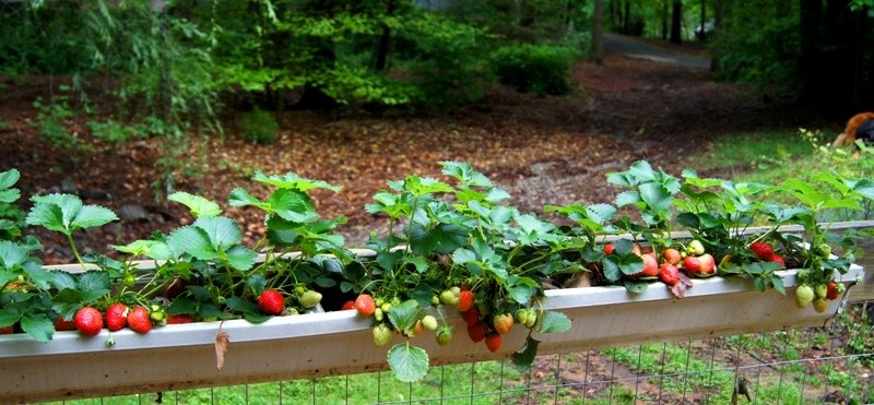 The-Wannabe-Country-Girl-hanging-strawberry-gutter-garden1