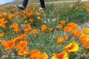 Antelope Valley California Poppy Preserve logo