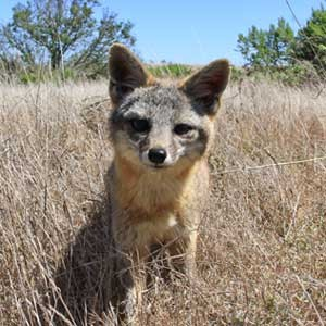 For years feral cats outcompeted endangered foxes on San Nicolas Island, off California's coast. (Island Conservation)