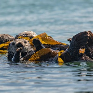 UCSC researchers Jim Estes and Chris Wilmers say sea otters can have an effect on the fight against global warming. Photo by Mike Baird.